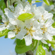 Stock Photo: Spring apple