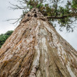 Stock Photo: Big spruce tree
