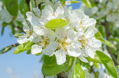 Spring apple — Stock Photo