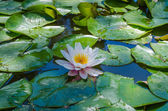 Lily in a pond — Stock Photo