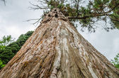 Big spruce tree — Stock Photo