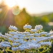 Stock Photo: Flowers at sunrise