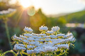 Flowers at sunrise — Stock Photo