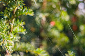 The spider web (cobweb) closeup background on tree. — Stock Photo