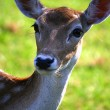 Stock Photo: Deer looks forward