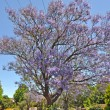 Blooming jacaranda tree against blue sky. Adelaide, Australia — Stock Photo