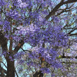 Blooming jacaranda trees against blue sky. Adelaide, Australia — Stock Photo