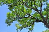 Verdi alberi contro il cielo blu. tempo di primavera. Australia — Foto Stock