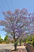 Blooming jacaranda tree against blue sky. Adelaide, Australia — Stock Photo