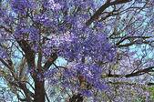 Blooming jacaranda trees against blue sky. Adelaide, Australia — Stock Photo