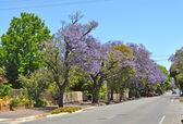 Little suburban street full of blooming jacaranda and green trees. Adelaide, Australia — Stock Photo