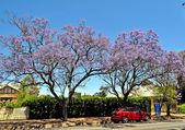 Malé předměstské ulici plné kvetoucí jacaranda a zelené stromy. adelaide, austrálie — Stock fotografie