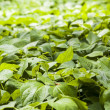 Green Bean field with shallow depth of field — Stock Photo