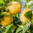 Stock Photo: Lemons on tree with flower