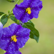 Solanum,wet  Blue flower on garden green background - Stock Photo