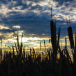 Broadleaf Cattail — Stock Photo