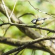 Great Tit — Stock Photo #16650869