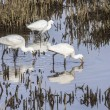 Common Spoonbill (Plataleleucorodia) and Snowy Egret (Egrettthula) — Stock Photo #16833967