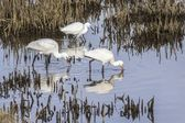 Common Spoonbill (Platalea leucorodia) and Snowy Egret (Egretta thula) — Stock Photo