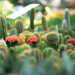 Royalty-Free Stock Photo: Little cactuses