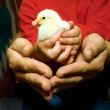 Chick in child's  and adult's hands - Photo