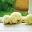 Chicks on the windowsill — Stock Photo