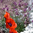 Three poppies in a flower bed — Stock Photo