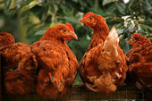 Surprised chickens — Stock Photo