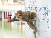 Thirsty indian monkey — Stock Photo