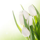 Bouquet of white tulips over white — Stock Photo