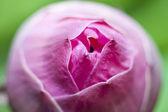 Budding lotus — Stock Photo