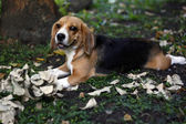 Beagle's playtime — Stock Photo