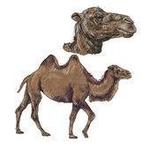 верблюд — Cтоковый вектор
