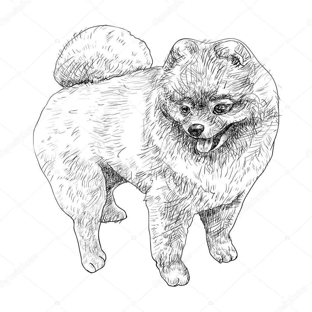 Pomeranian Coloring Dog Breeds Picture Pomeranian Coloring Pages