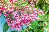Bagflower or Clerodendrum thomsoniae — Stock Photo