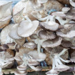 The cultivate of oyster mushroom — Stock Photo