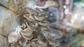 The cultivate of oyster mushroom — Zdjęcie stockowe