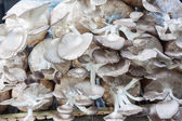 The cultivate of oyster mushroom — 图库照片