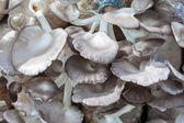 The cultivate of oyster mushroom — Foto Stock