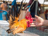 Local breed bantam in Thailand — Stock Photo