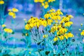 Black-eyed susan bloem — Stockfoto
