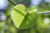 Heart shape green leaf — Stock Photo