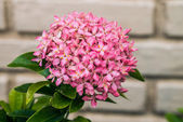 Ixora flower — Stock Photo
