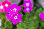 Madagascar periwinkle flower — Stock Photo