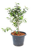 Small banyan tree plant — Stock Photo