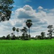 Stock Video: Green rice field time lapse loop