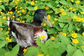 Mallard Duck in Field of Flowers — Stock Photo