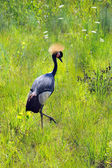 Crowned African Crane — Stock Photo