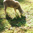 Lamb Grazing — Stockfoto #13962128
