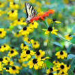 Easter Tiger Swallowtail Butterfly on Yellow Flowers — Stock Photo